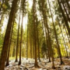 Evergreen Forest jigsaw
